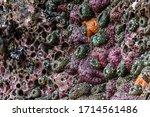 Cluster Of Ochre Sea Stars...