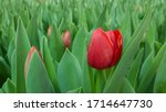 Red Tulip Blooms. Red Blooming...