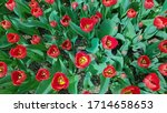 Red Tulips In Green Foliage....