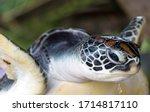 Portrait Green Sea Turtle...