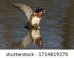 Wood Duck Landing In Spring