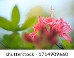 Soft Colorful Azalea Flowers In ...