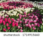 Pink And White Tulips In The...