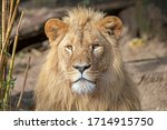 Portrait Of Young Male Lion In...