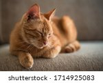 A Ginger Tabby Cat Is Lying On...