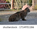 Urban Bobcat Crouched On A...