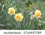 Blooming Yellow Daffodils...
