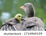 Goose And Baby Goose Close Up...
