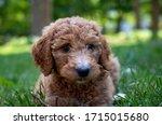 Closeup Of A Goldendoodle Pupp...