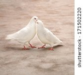 Two Loving White Pigeons