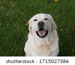 Happy White Labrador Retriever...