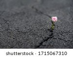 Small photo of Beautiful resilient flower growing out of crack in asphalt