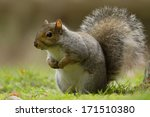 Grey Squirrel In The Meadow...