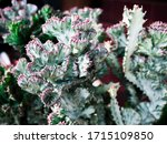 Close Up  Euphorbia  Lactea ...