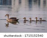 Grey Teal Duck Family With A...