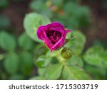 the beautiful roses in my...   Shutterstock . vector #1715303719