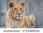 Lioness Looking. Big Feline Is...