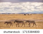 Three Zebras Marching In Line...