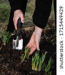 Gardener Loosens The Soil...