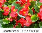 Begonias Semperflorens Begonias ...