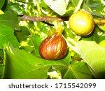 ripe figs on a tree        ...   Shutterstock . vector #1715542099