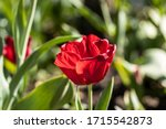 Gouda, South Holland/the Netherlands - April 27 2020: Bright red tulip bading in sunlight shot with a macro lens and shallow depth of field giving blurry effects
