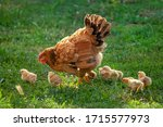 Poultry In A Rural Yard. Hen...