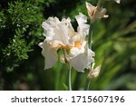 Beautiful White Iris Flower In...