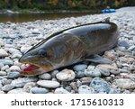 Hugo Taimen Fish Laying On The...