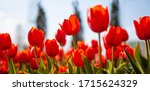 Red Tulips Background....