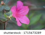 Close Up Of Pink Azalea Flower