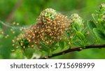 Cluster Of Araneus Diadematus...