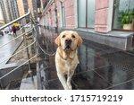 Sad Wet Labrador Dog Tied Up A...