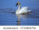 Trumpeter swan (Cygnus buccinator) in Yellowstone National Park, Wyoming, USA