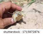 Tortoise On The Hands Of Man ...