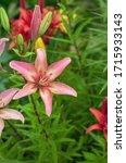 Pink Beautiful Lily Close Up On ...