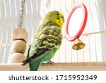 Small photo of Funny budgerigar. Cute green budgie pa parrot sits in a cage and plays with a mirror. Funny tamed pet bird and her toys