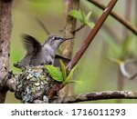 Young Hummingbird In The Nest