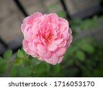 the beautiful roses    Shutterstock . vector #1716053170
