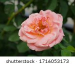 the beautiful roses   Shutterstock . vector #1716053173