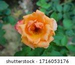 the beautiful roses    Shutterstock . vector #1716053176
