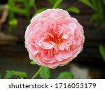 the beautiful roses i   Shutterstock . vector #1716053179