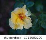 the beautiful roses    Shutterstock . vector #1716053200