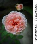 the beautiful roses    Shutterstock . vector #1716053203