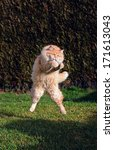 Stock photo big funny cat jumping on the garden 171613043