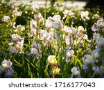 Field Of Blooming White With...