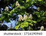 Flowering Horse Chestnut Or...