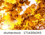 Beautiful Golden Maple Leafs In ...