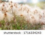 Cotton Grass Plants  Eriophorum ...