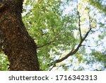 Ulmus Parvifolia  Chinese Elm ...